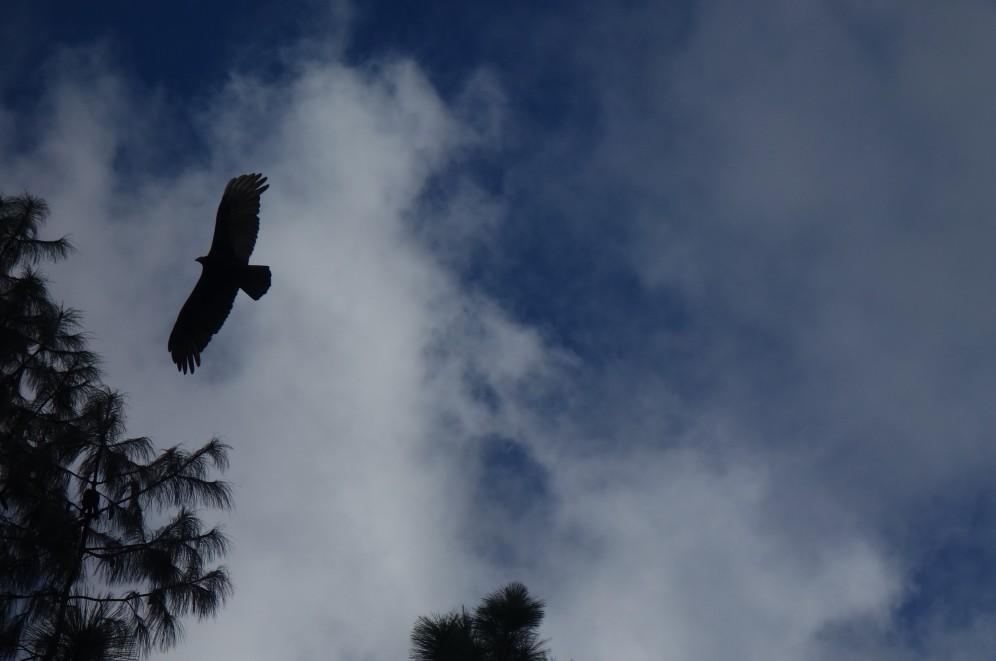 Condor... I think (Samaipata)