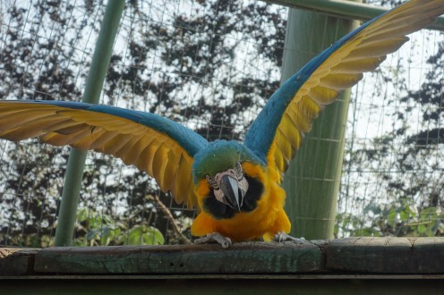 Guembe - a very territorial parrot!